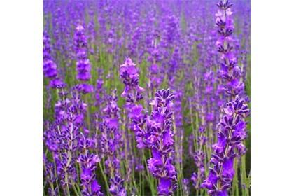 Aromalife Parfum De Maison - Lavender